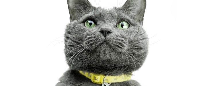 Una gran duda para los dueños de gatos es sí ponerles collar o no