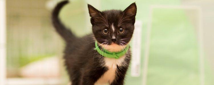 Los collares antipulgas son una buena opción para proteger a los gatos