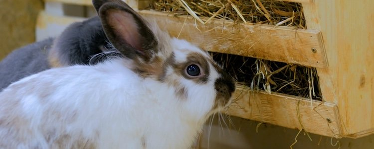 El componente más importante de la dieta de un conejo e el heno