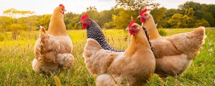Las gallinas son animales sociables y tranquilos