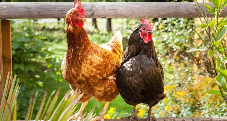 Al ser aves, las gallinas necesitan un lugar alto para dormir