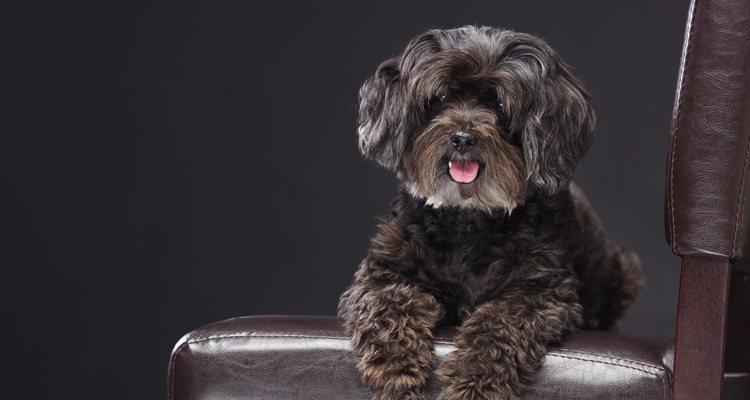 Los perros que surgen entre el cruce de dos razas son propensas a sufrir más enfermedades