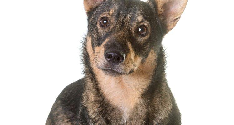 Tiene sus orígenes en Suecia y se trata de un gran perro guardián