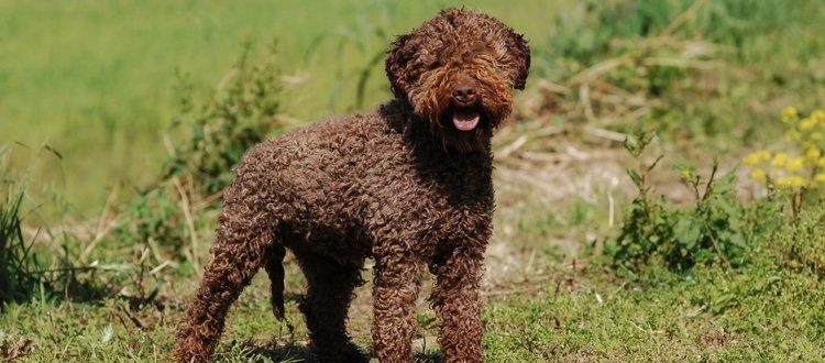 El pelaje de estos perros es rizado y de color marrón o anaranjado