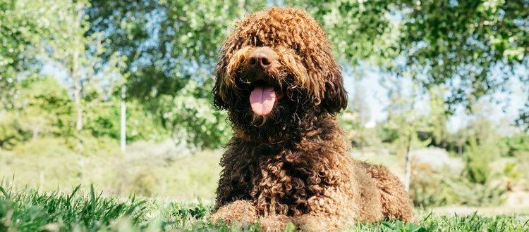 El perro turco o perro de agua español es muy enérgico e inteligente
