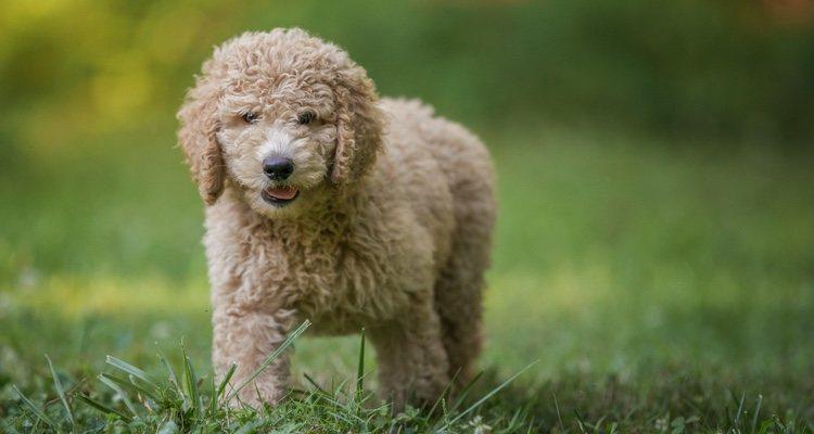 El caniche es uno de los perros más fáciles de educar