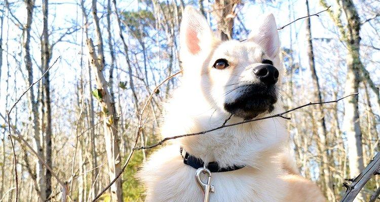 Debes tener una casa grande y con jardín para poder tener esta raza de perro
