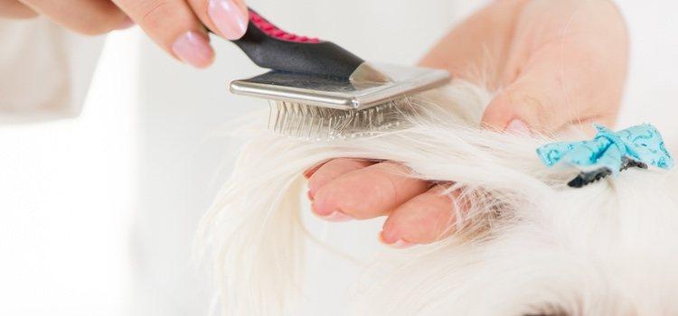 Primero debemos desenredar y luego retirar el pelo muerto