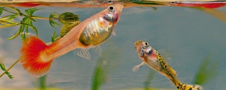 La alimentación de cada pez depende de su especie
