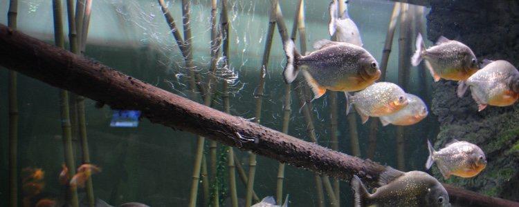 Los peces pueden estar sin comer entre 2 y 3 días