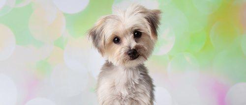 Razas de perro: Morkie