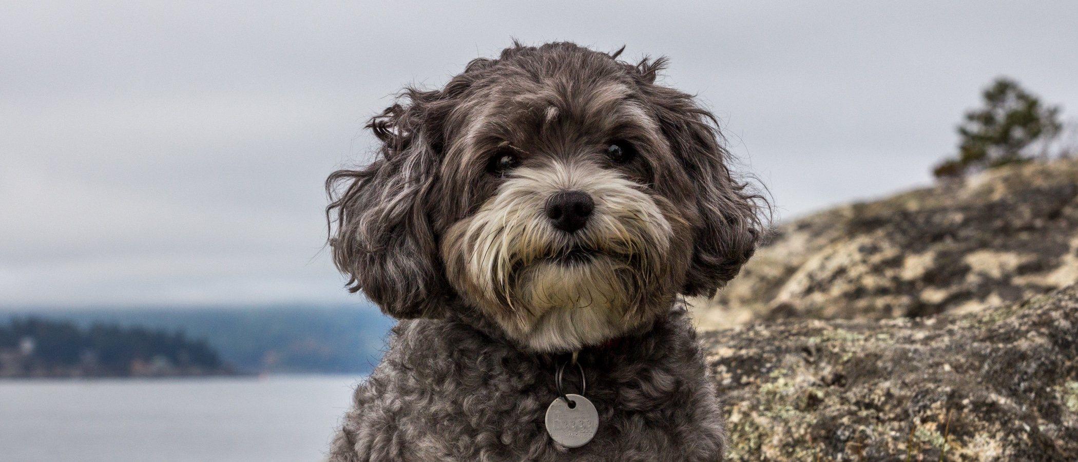 Maltipoo: conoce todo sobre esta raza híbrida de perro