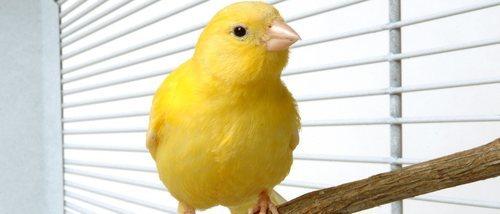 Mi canario no canta, ¿qué le ocurre?