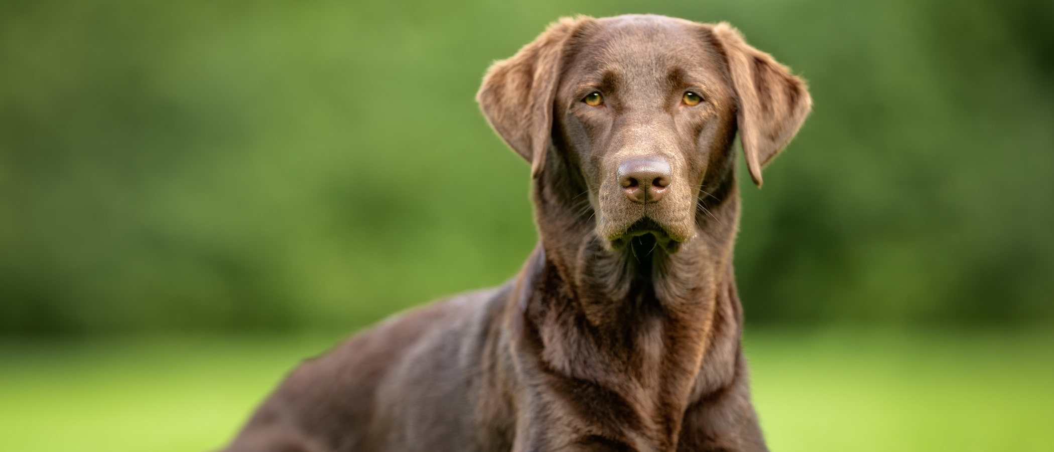 Pros y contras de adoptar un perro adulto