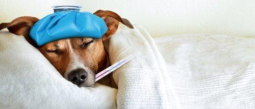 Peritonitis en perros: lo que necesitas saber