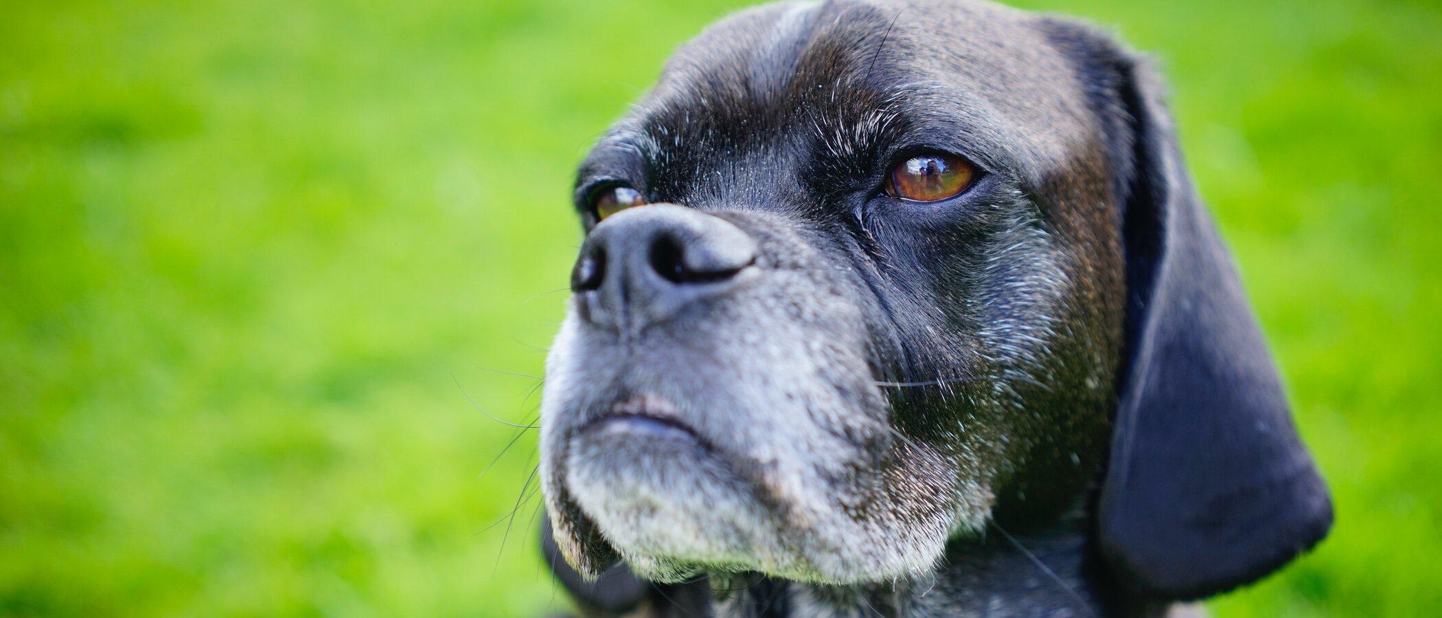 Longevidad de los perros: todo lo que necesitas saber