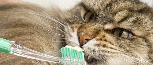 Cómo limpiar los dientes de tu gato