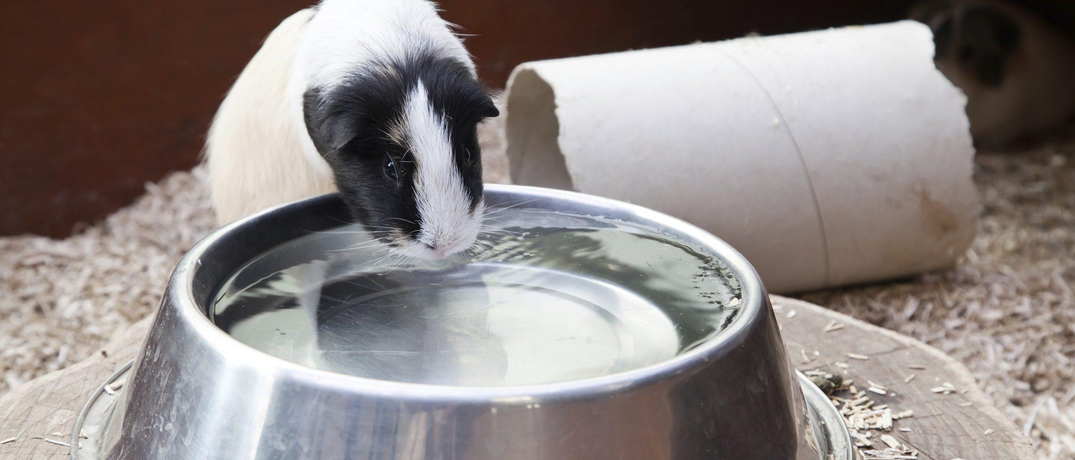 ¿Cuánta agua debe beber un hámster?