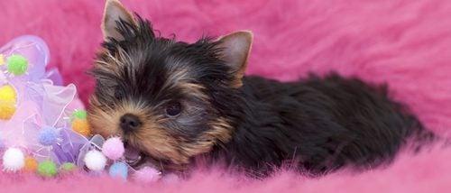 Razas de perros pequeños que no crecen mucho