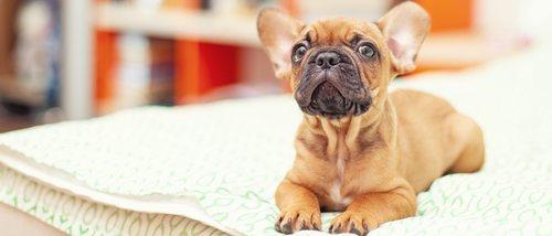 Cómo detectar disfunciones cognitivas en los perros