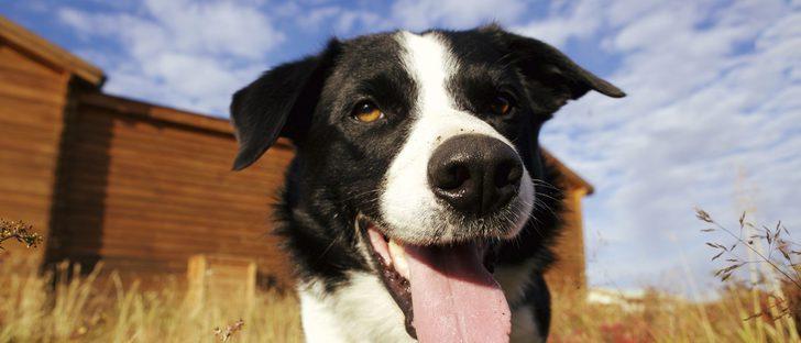 Cómo limpiar las orejas de un perro