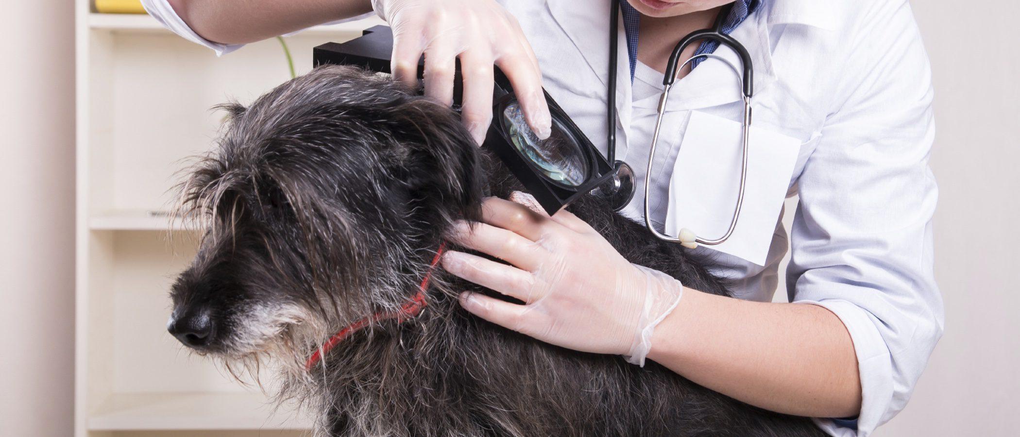Los parásitos en los perros