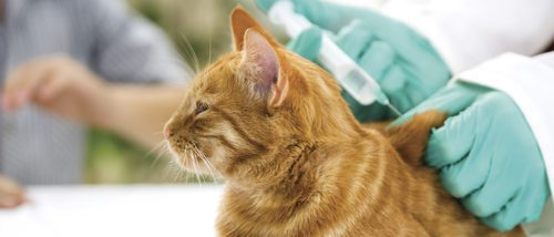 ¿Cómo y cuándo debo vacunar a mi gato?