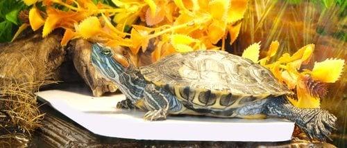 Cómo saber si tu tortuga es macho o hembra