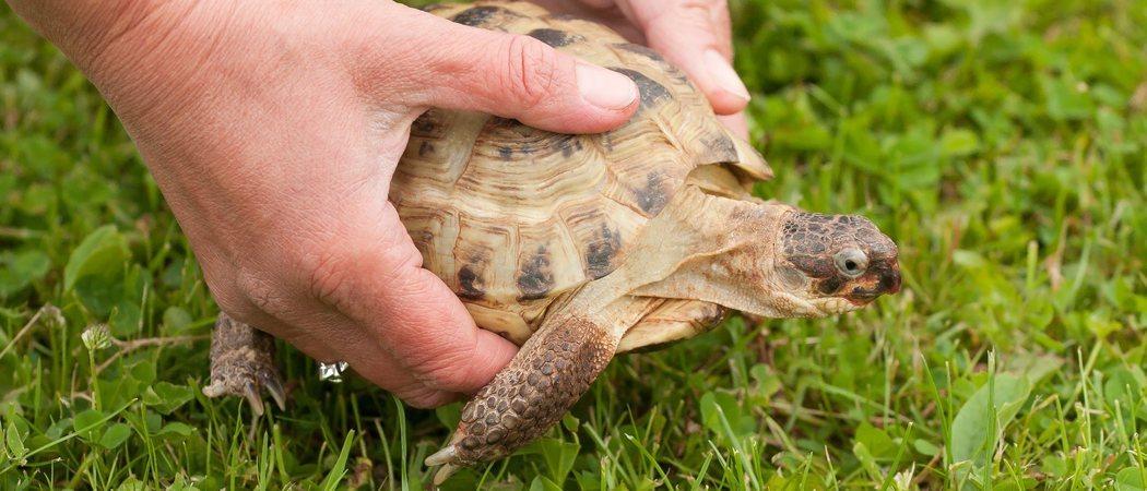 Cómo saber la edad de tu tortuga