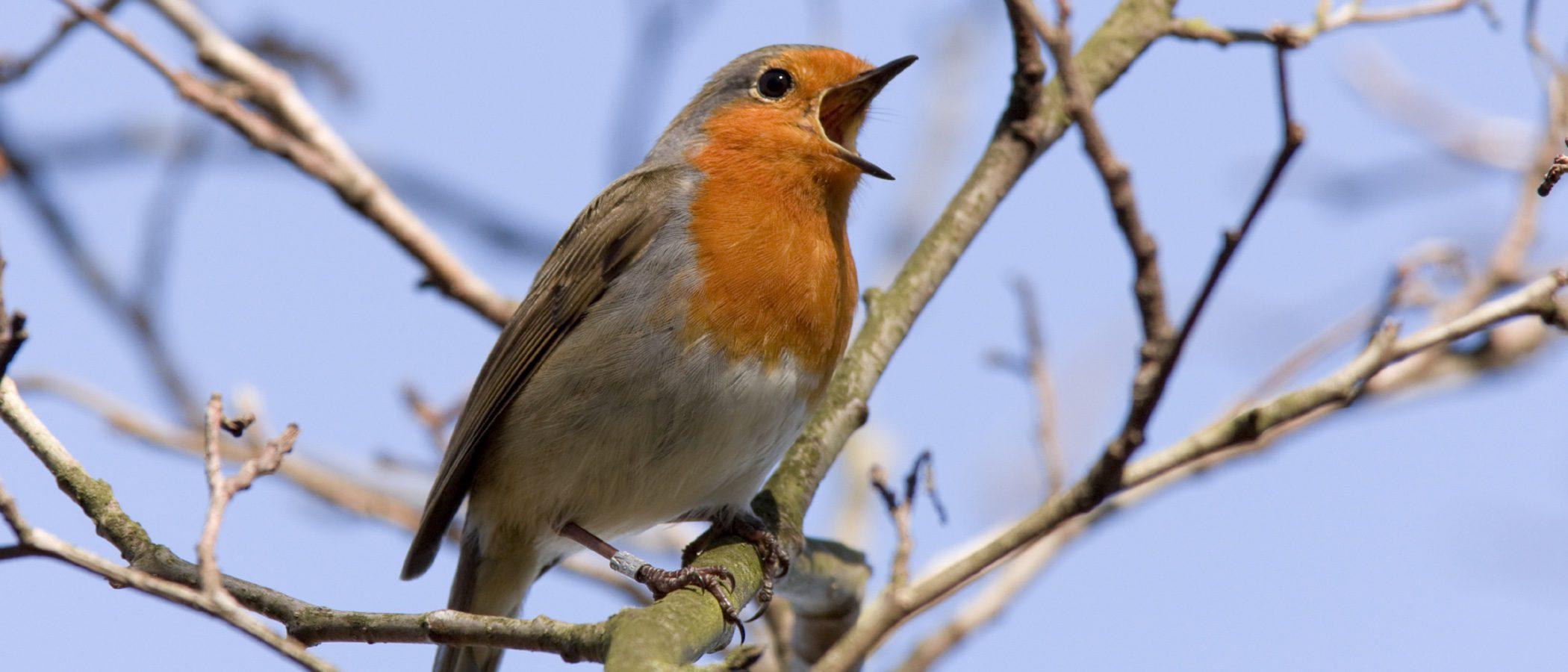 Pájaros que cantan