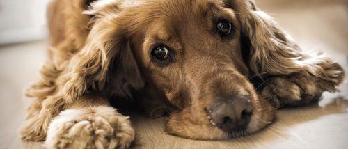 Depresión en los perros: Cómo saber si nuestra mascota está triste