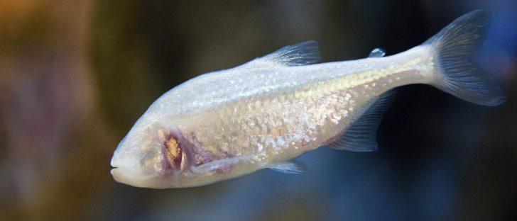 Enfermedades de los peces punto blanco bekia mascotas for Enfermedades de peces goldfish