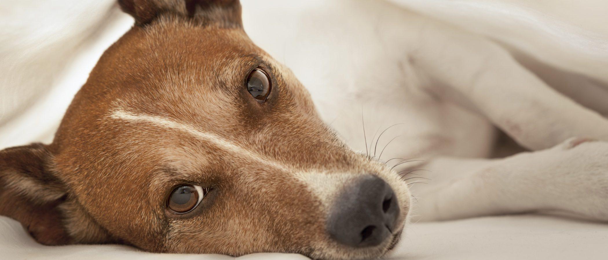 La Filariosis en perros: Síntomas y tratamiento