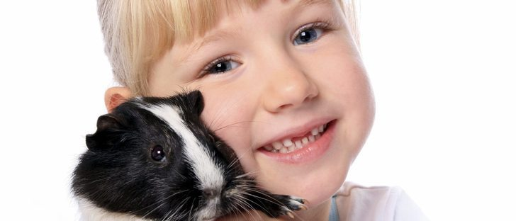 Elegir un conejillo de indias como mascota