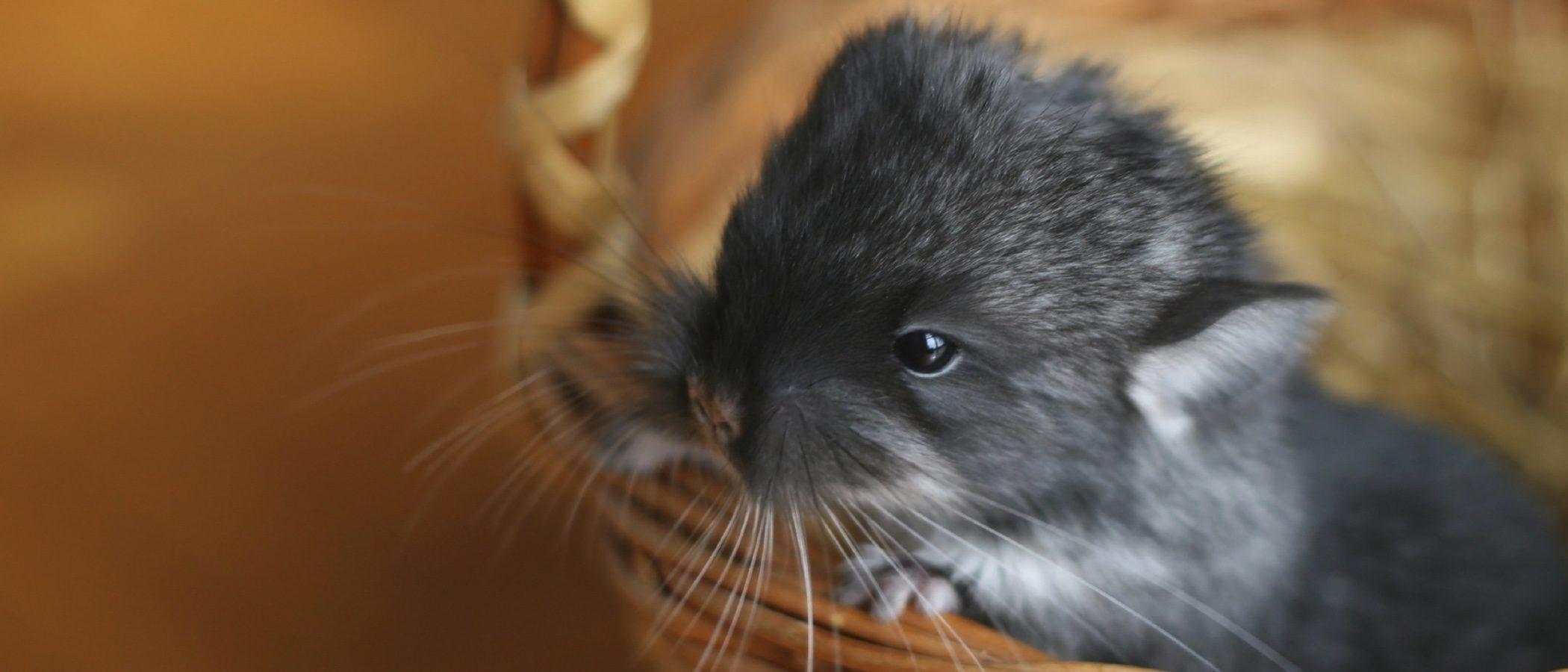 La chinchilla, una mascota para nuestra casa