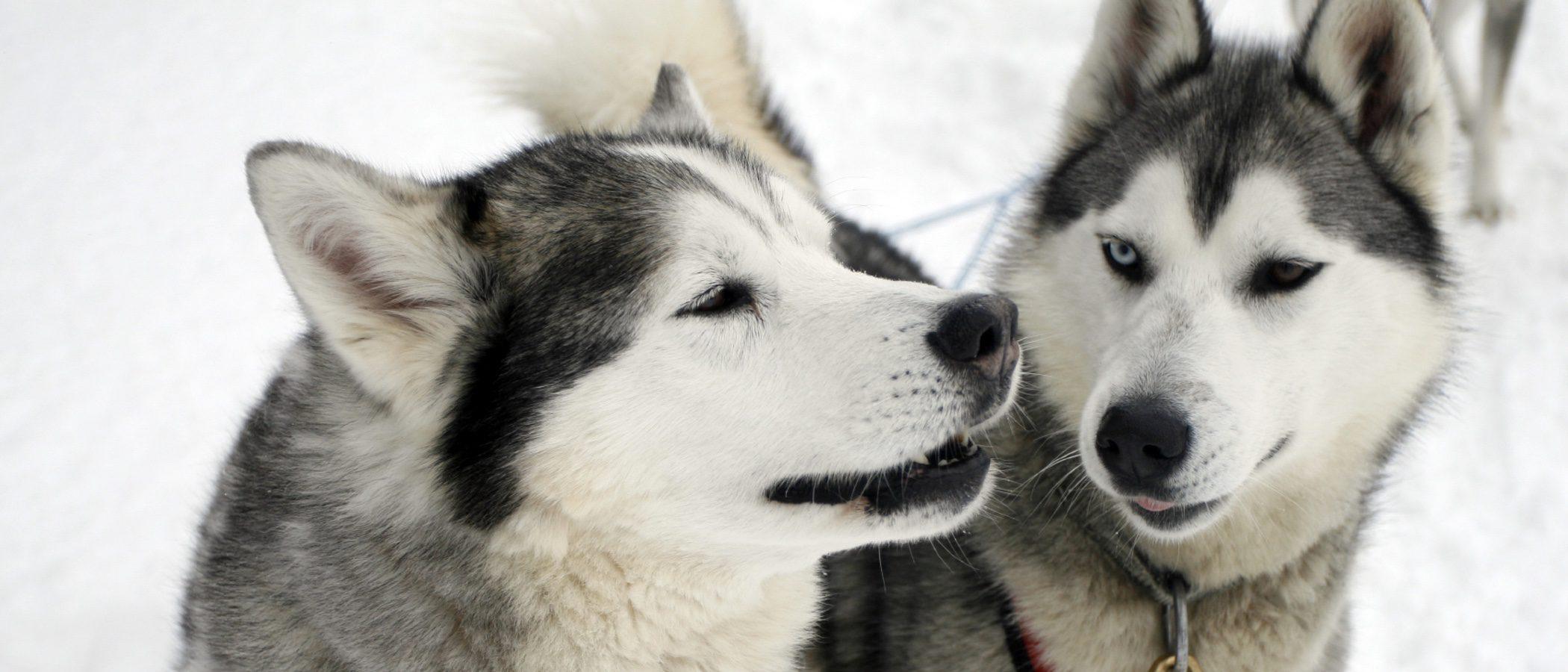 Razas de perros que no deberías tener en España
