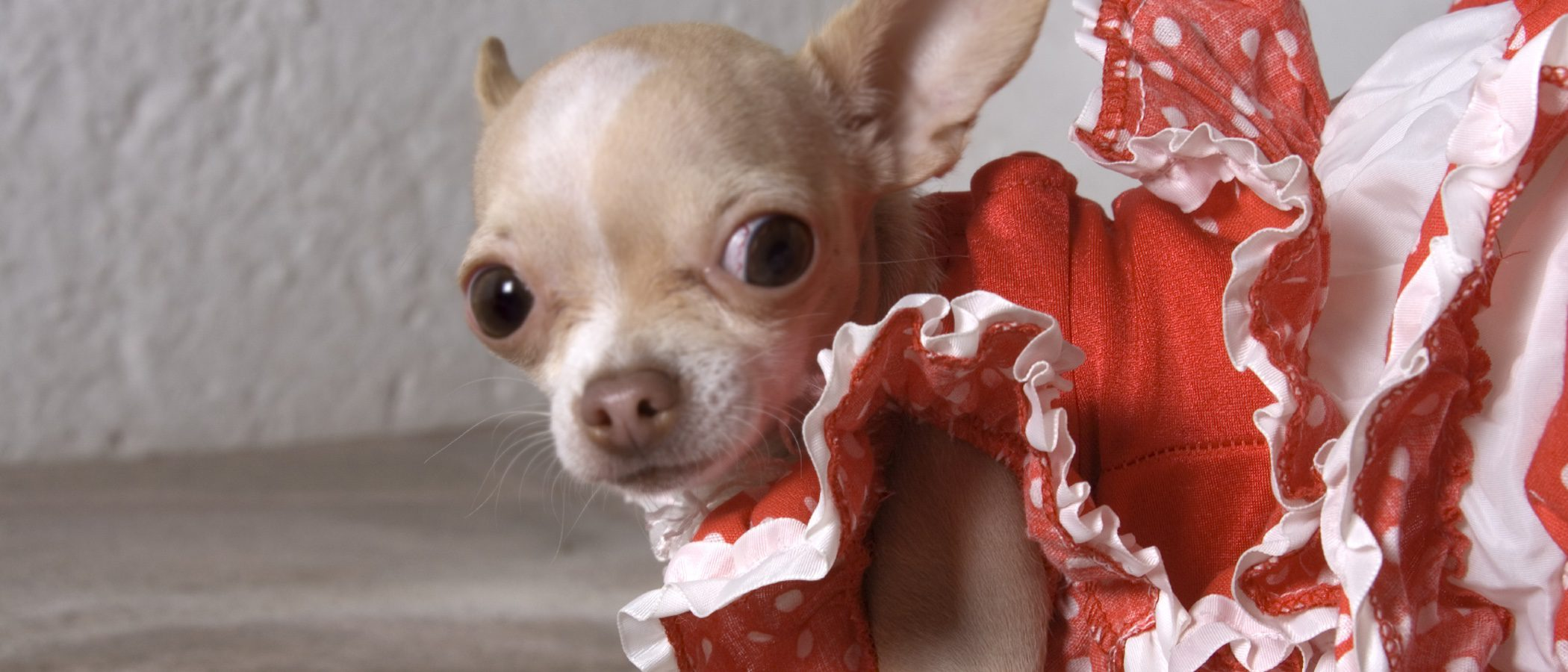 Razas de perros adecuadas para vivir en España