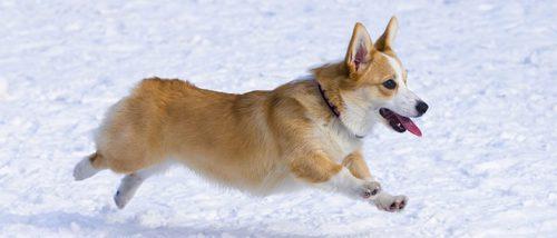 Ventajas e inconvenientes de tener como mascota un perro de raza Corgi