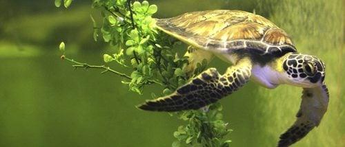 ¿Cuánto tiempo puedo dejar sola a mi tortuga en casa?
