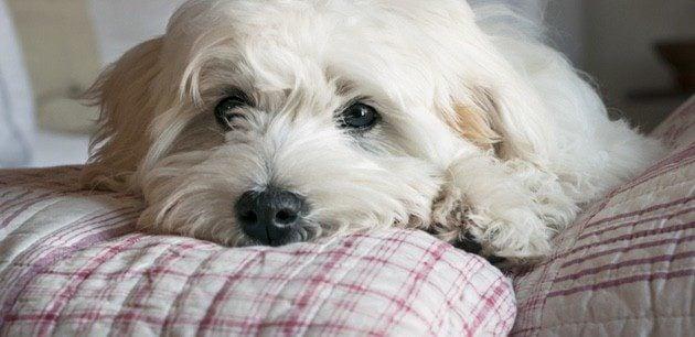 Mi perro ha muerto: ¿Me compro otro inmediatamente o debo esperar?