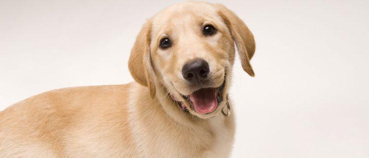 Tener como mascota un perro Labrador Retriever: Cuidados y características