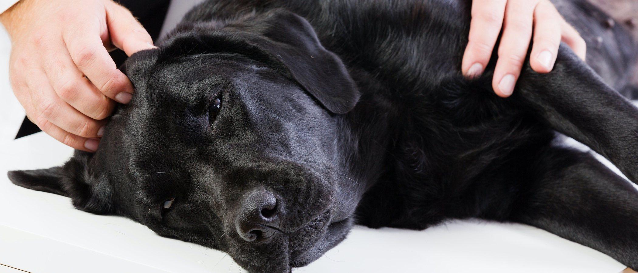 El síndrome vestibular en nuestra mascota: causas y tratamiento