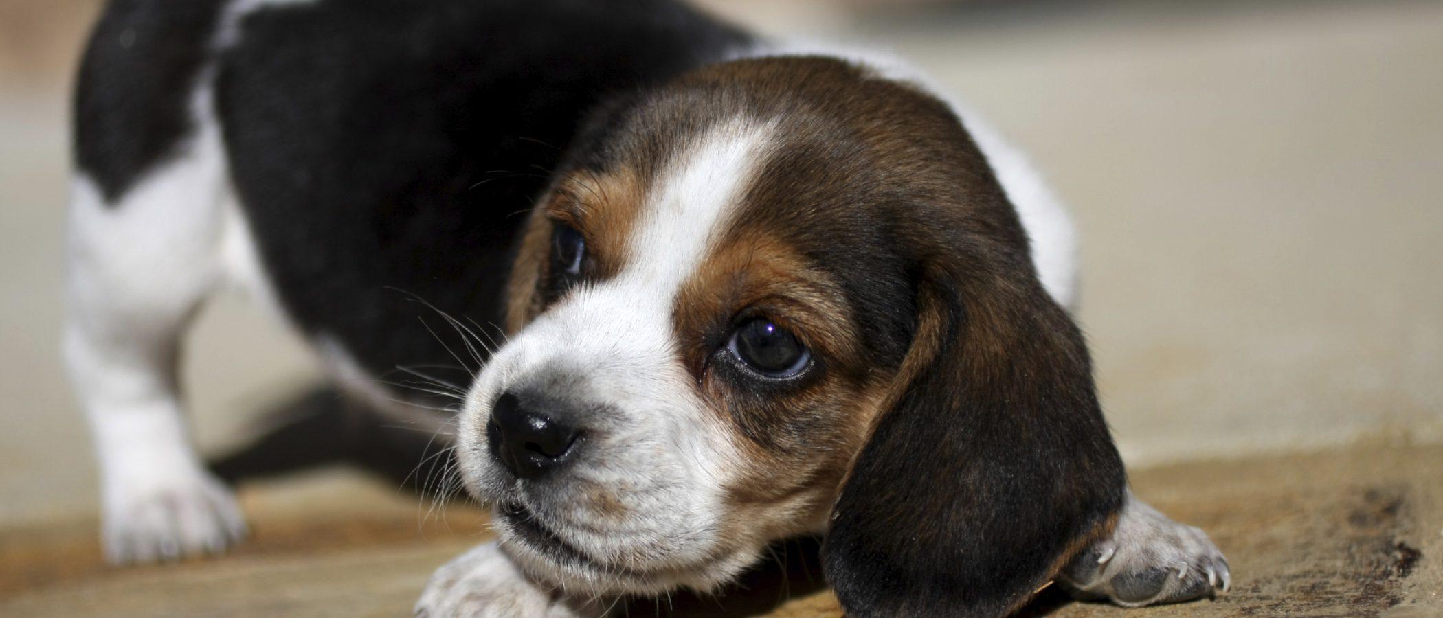 Características y cuidados del Beagle, un perro cazador y bello