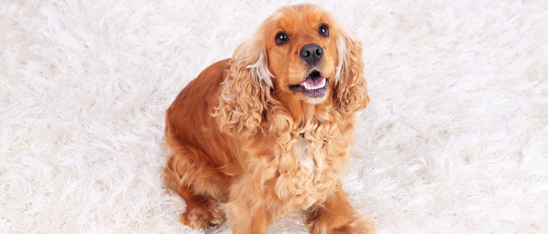 Tener un Cocker como mascota: características y cuidados del perro