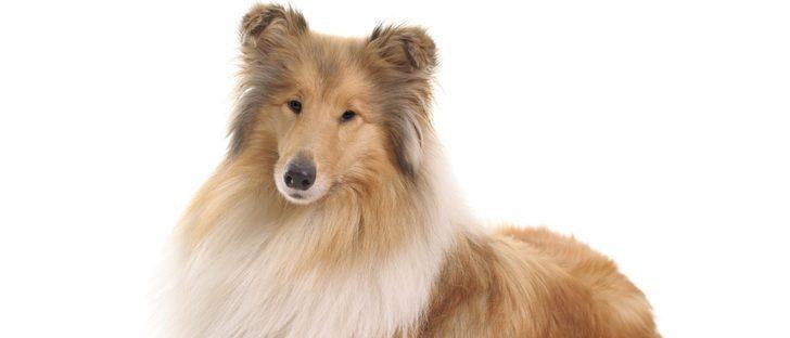 Tengo un Collie: ¿cuáles son las características y los cuidados de esta raza de perro?