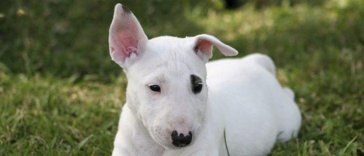 Características de los perros Bull Terrier: una mascota pequeña pero fuerte