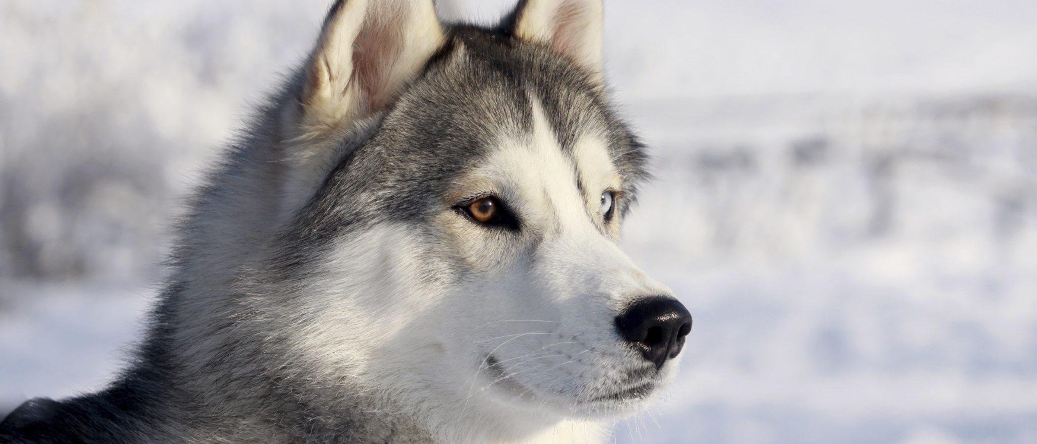 Tener como mascota a un Husky siberiano