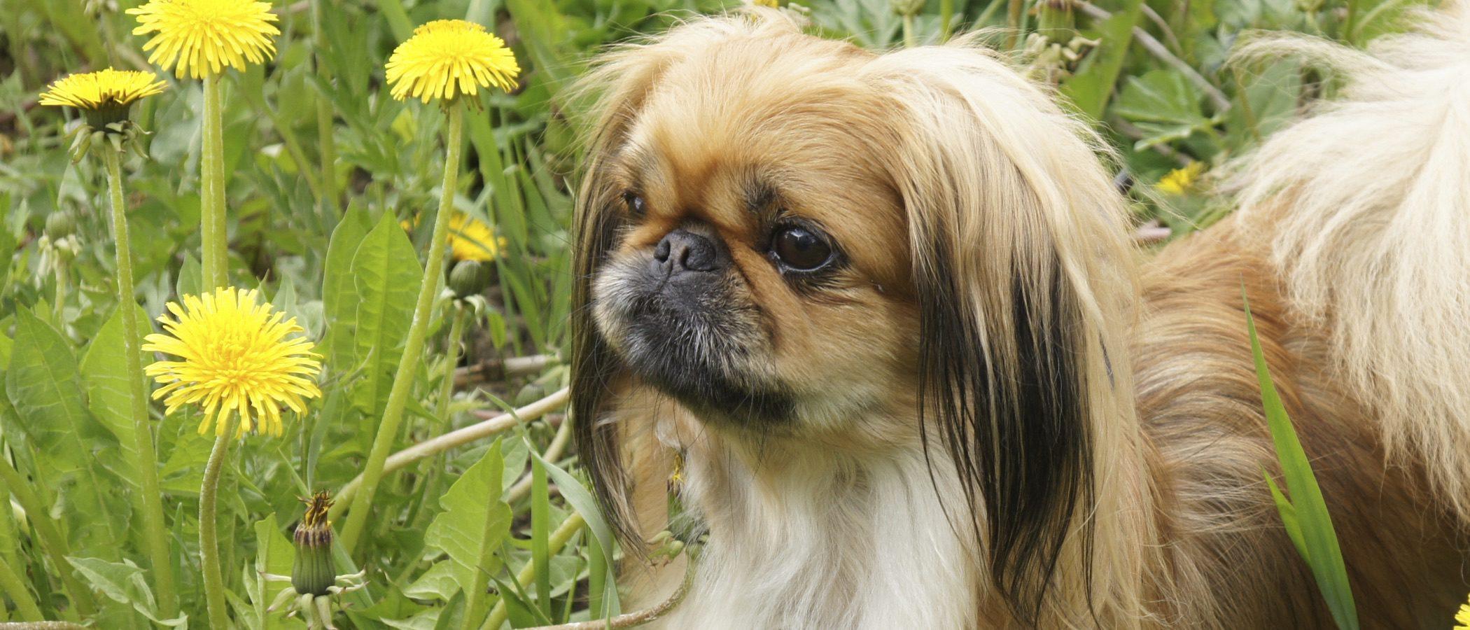 Perro pekinés: cuidados y características de esta mascota