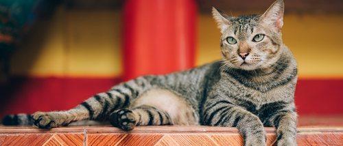 Problemas felinos: ¿qué son las feromonas?
