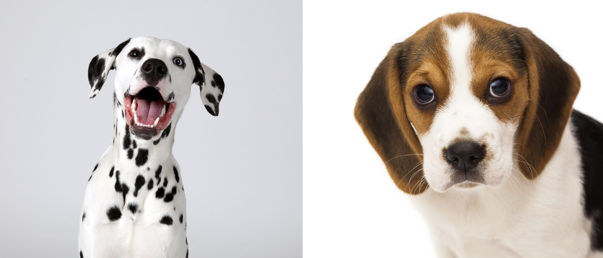 Los 12 perros más bonitos